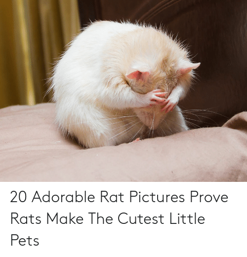 20 adorable rat pictures