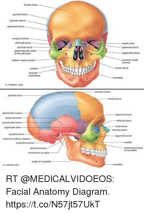 ethmoid bone diagram honda monkey bike wiring frontal parietal coronal suture sphenoid temporal memes superior and