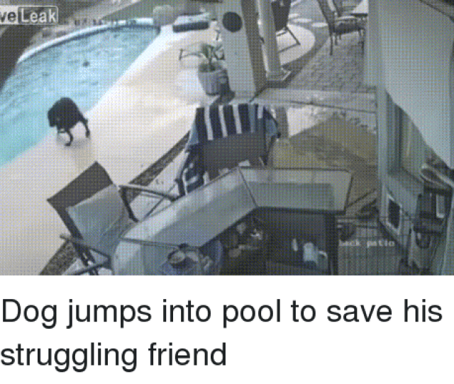 Pool Back And Dog Leak Back Patio Dog Jumps Into Pool To Save