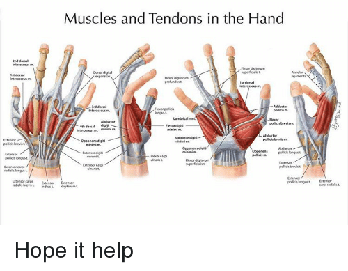 muscle diagram dorsal 20w led driver circuit muscles and tendons in the hand 2nd interosseus m digitorum memes policy