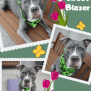 Brave Sweet Blazer Id 59280 Yrs 58 Lbs Of Cuddles Waiting