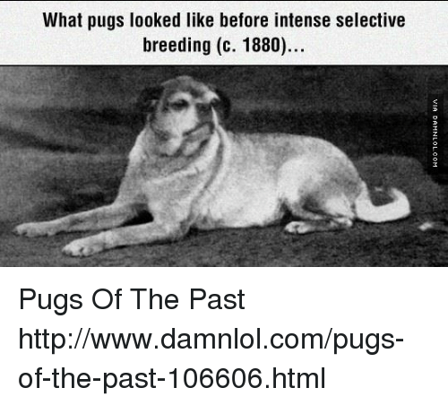 pugs before selective breeding