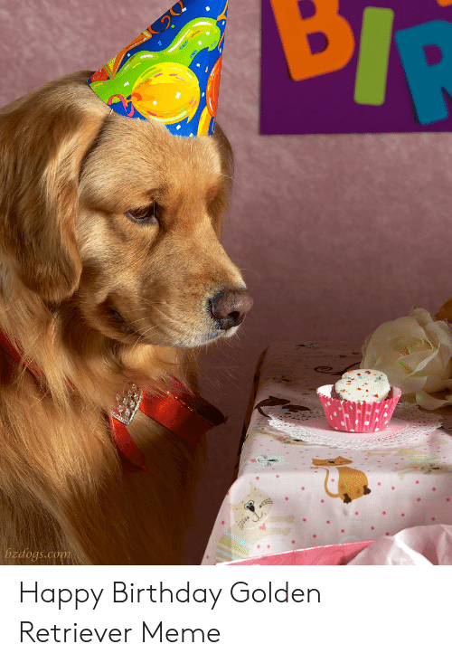 Golden Retriever Birthday Meme : golden, retriever, birthday, Zdogscom, Happy, Birthday, Golden, Retriever, ME.ME