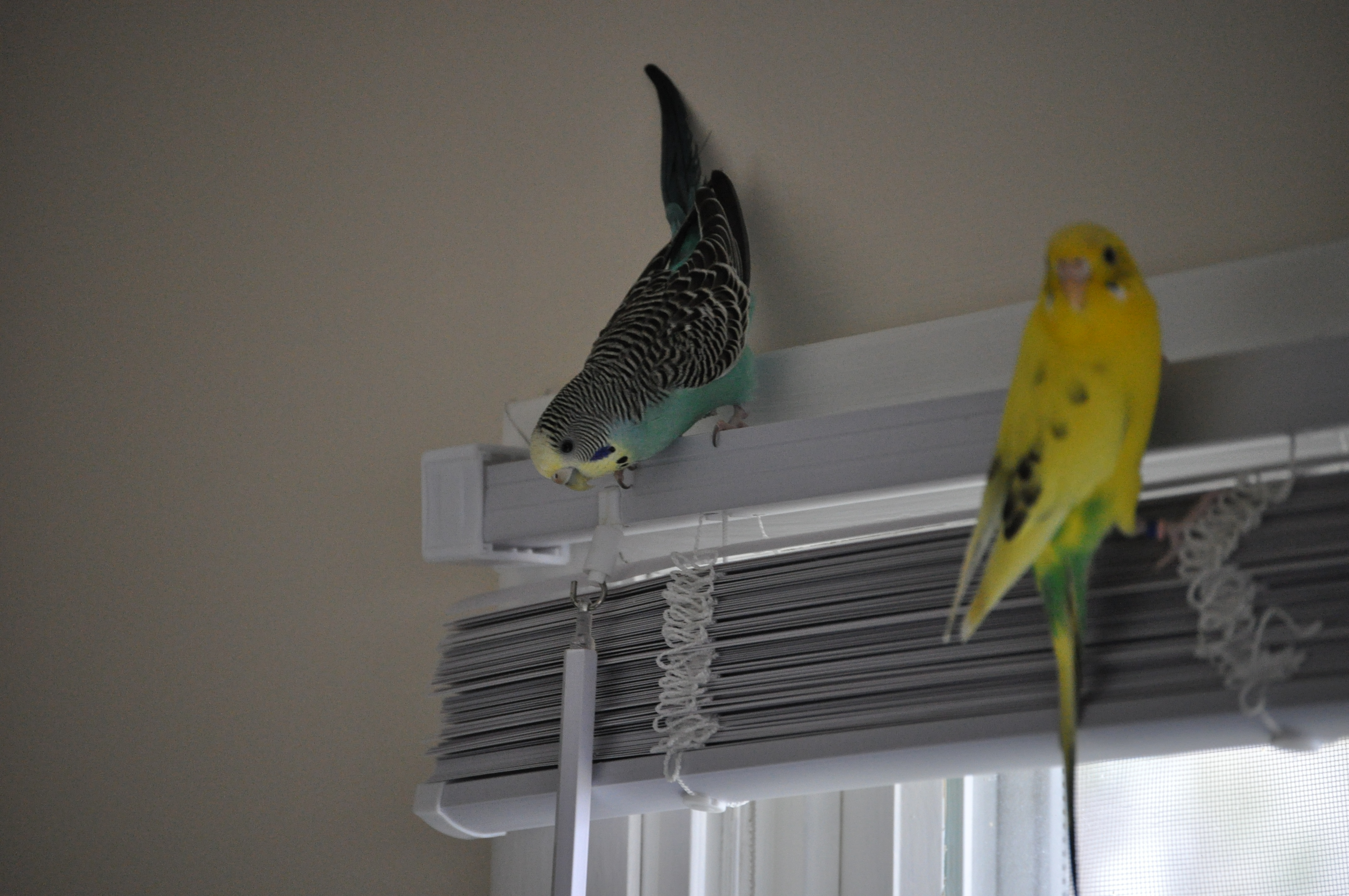 clipping duck wings diagram badlands winch wiring parakeet pictures to pin on pinterest - thepinsta
