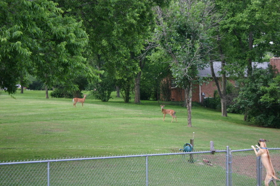 Oak Hill TN  The beautiful wildlife 2 deer crossing through our backyards while our dog