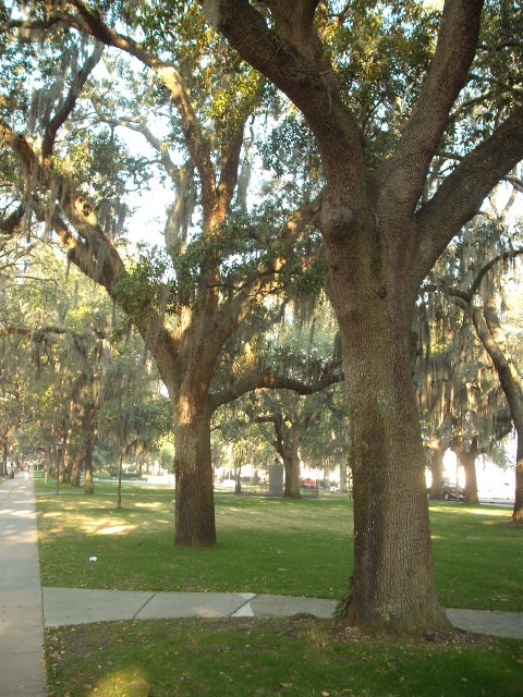 Savannah GA  Trees photo picture image Georgia at citydatacom