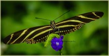 Admiral Butterfly