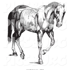 Horse Muscle And Bone Diagram Fluorescent Ballast Starter Wiring Muscles