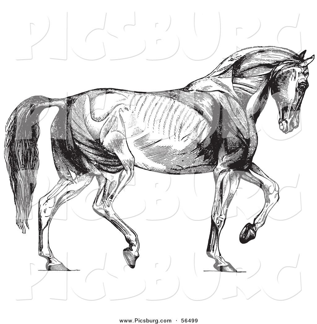 Clip Art Of Walking Horse Muscles