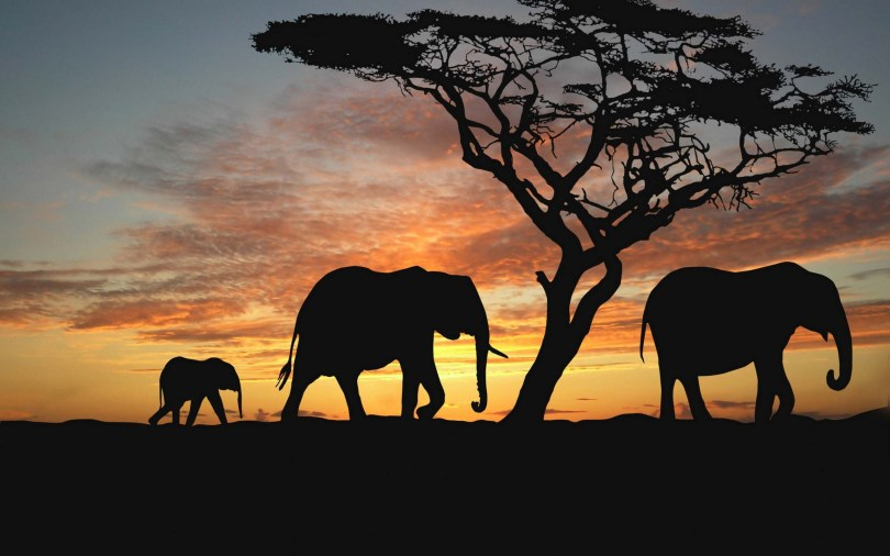 a-family-of-elephants-on-sunset-wallpaper