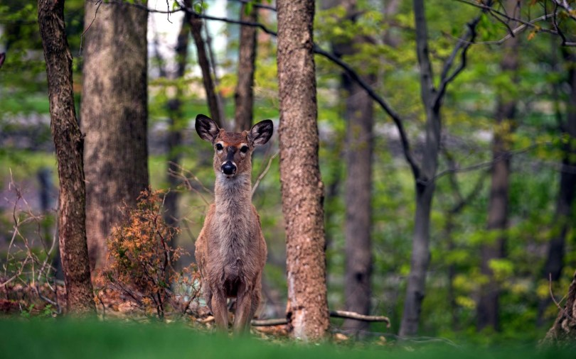 a-lovely-deer-among-the-trees-hd-wallpaper