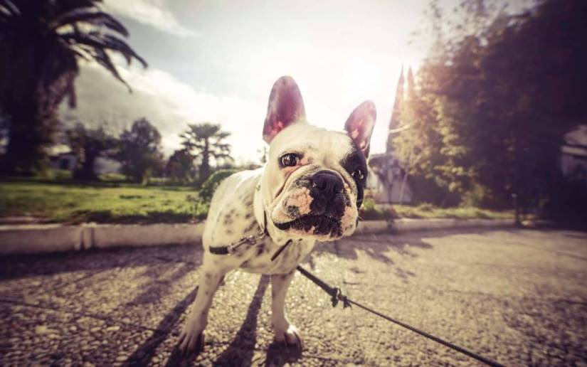 A Small Bull Dog With Rope Full Hd Wallpaper