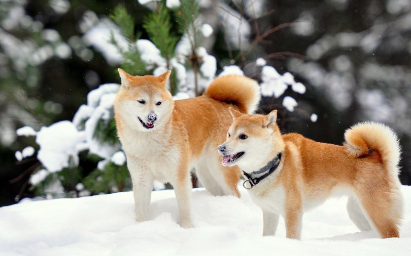 akita-in-snow-full-hd-wallpaper