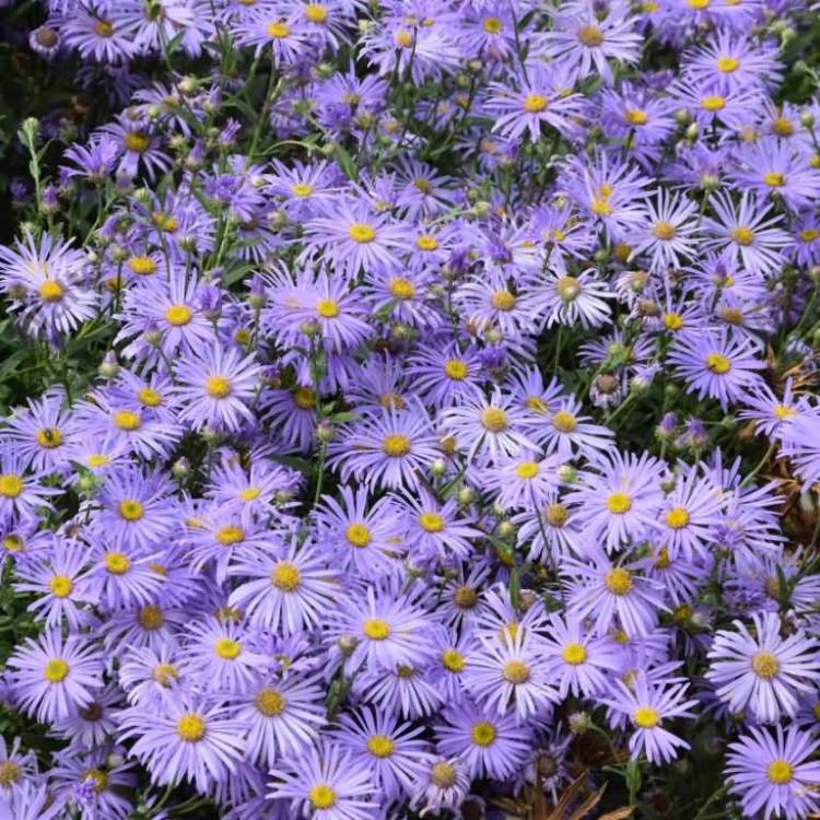 Amazing Blue Aster Flower For Wedding Decoration