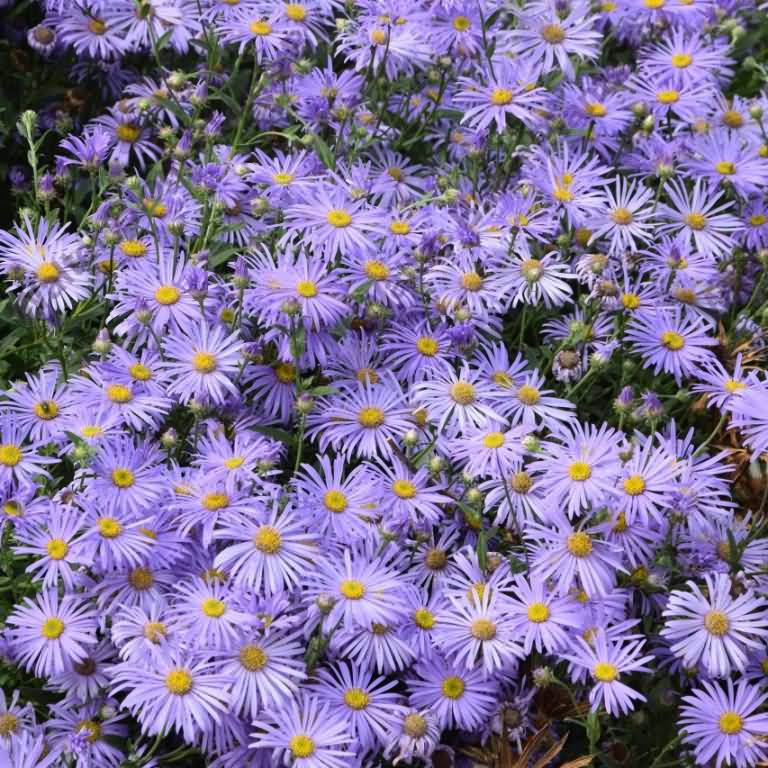 Amazing Blue Aster Flower For Wedding Decoration
