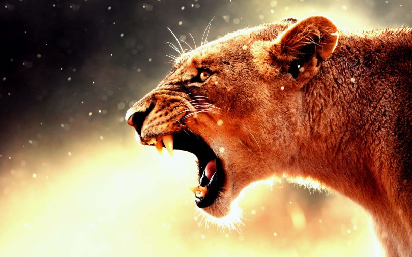 amazing-lioness-showing-teeth-hd-wallpaper