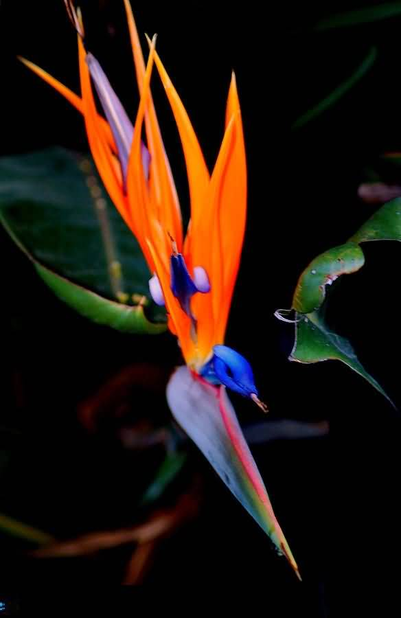 Amazing Red And Blue Bird Of Paradise Flower With Black Background