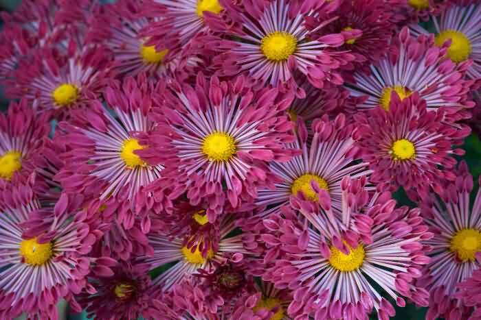 Amazing Red In Yellow Aster Flowers Plants