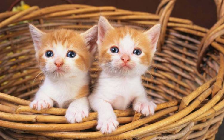 Amazing Two Beautiful Cats In The Basket