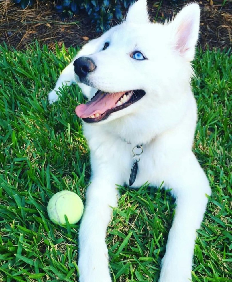 Amazing White Husky Dog Playing With Ball In Garden