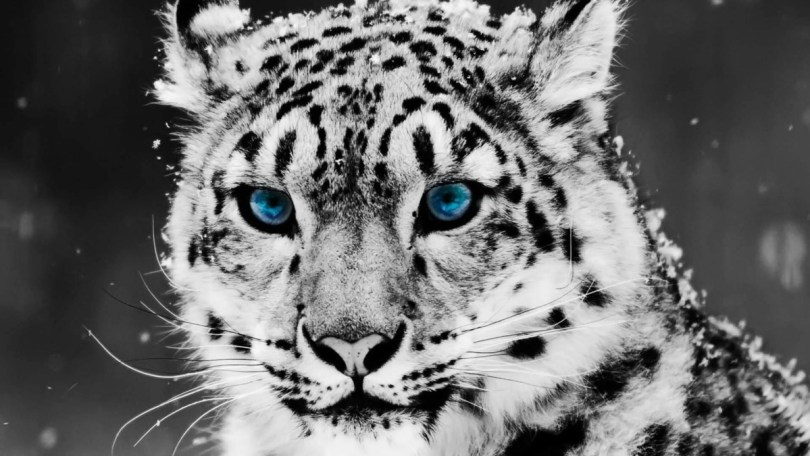 Amazing White Leopard With Blue Eyes Hd Wallppaper