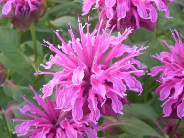 Attractive Many Pink Bergamot Flower Plant For Decoration