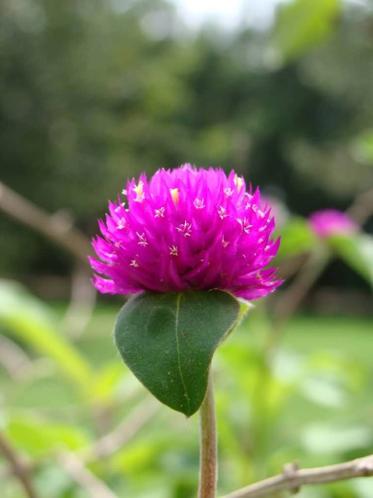 Attractive Pink Flower Globe Amaranth Plant With One Single Leaf