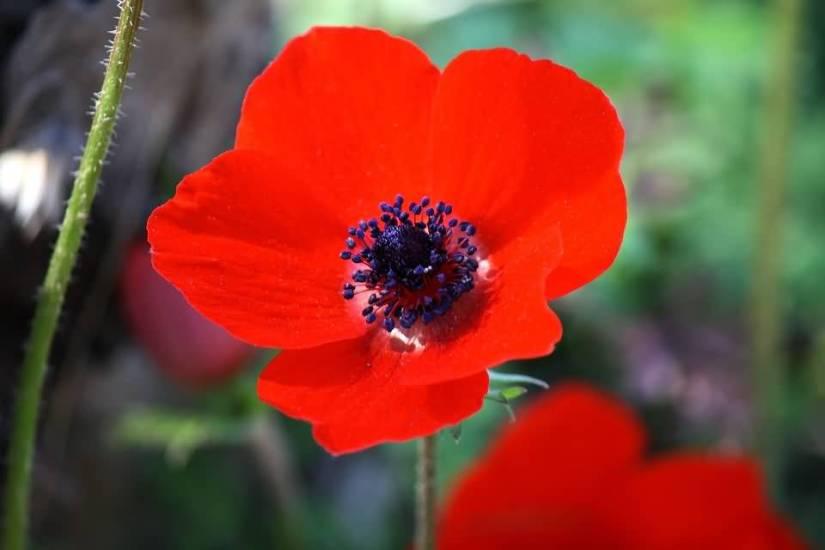 Attractive Red Flower Anemone Wallpaper