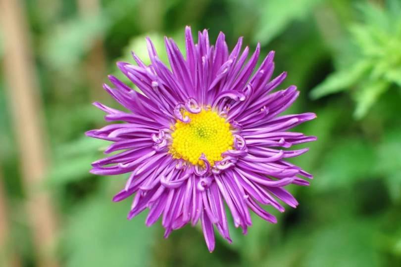 Attractive Yellow In Purple Aster Flower Wallpaper