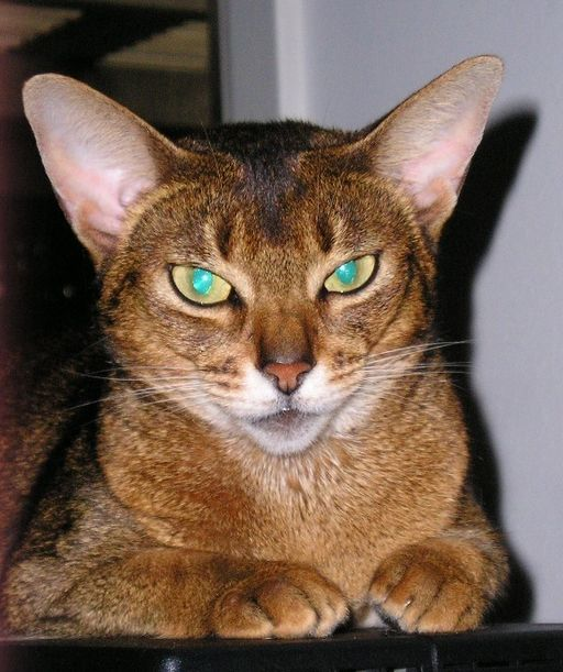 Awesome Abyssinian Cats With Lovely green Eyes