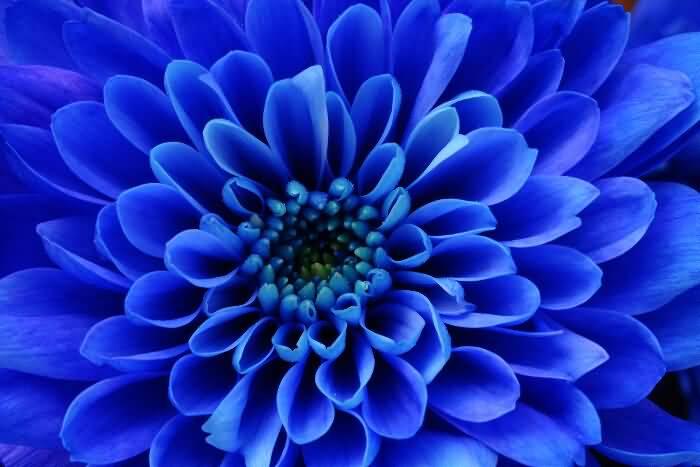 Awesome Blue Aster Flower For Desktop