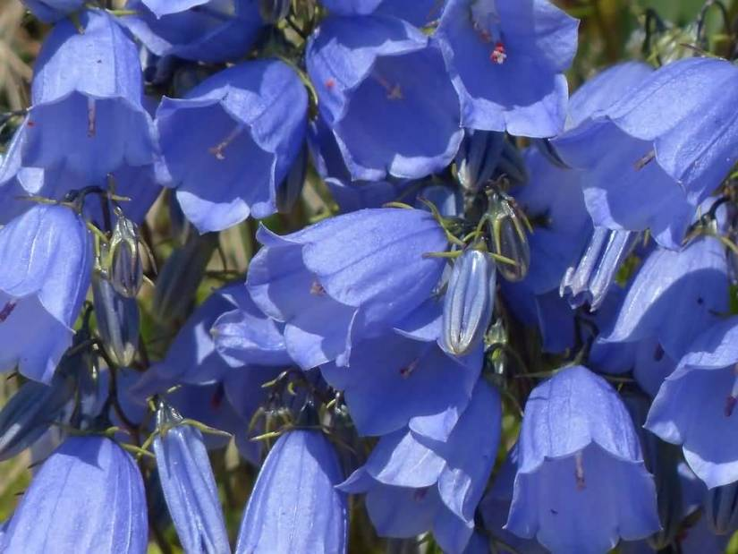 Awesome Blue Bellflowers For Wallpaper