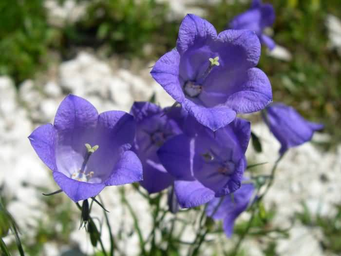 Awesome Blue Bellflowers Picture For Wedding