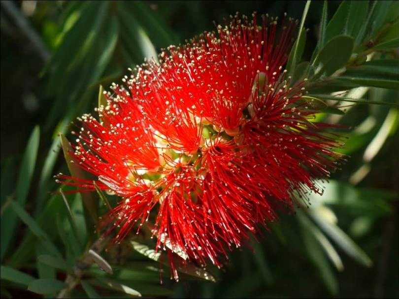 Awesome Bottle Brush Flower With Green Leafs