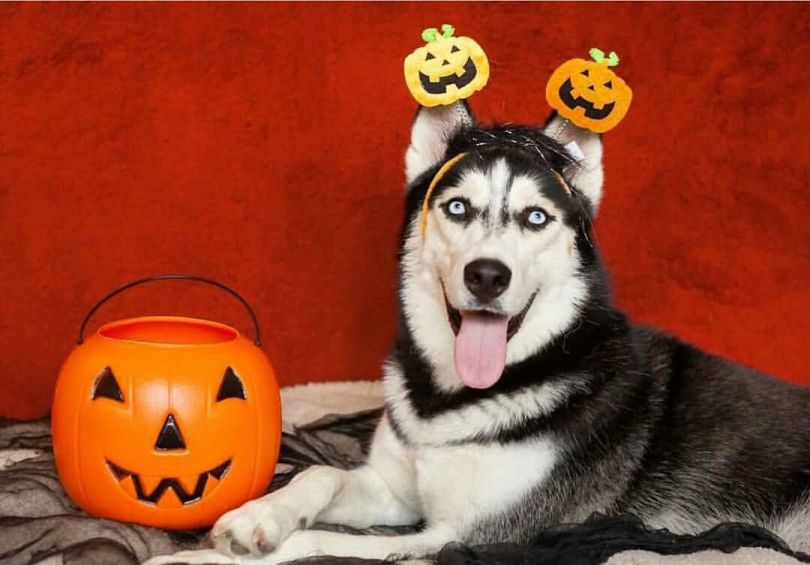 Awesome Husky Dog Is Ready For Halloween Looks So Funny