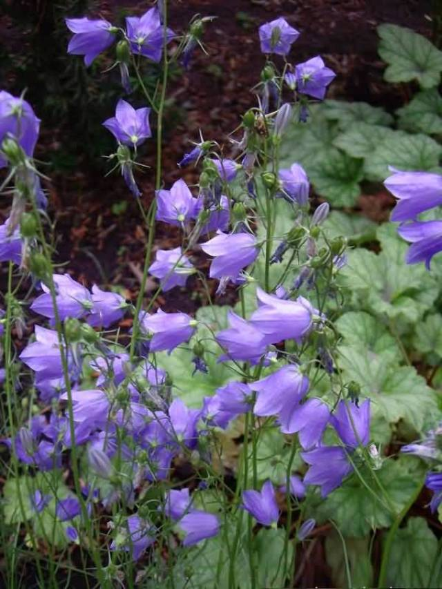 Awesome Many Blue Bellflower Plants For Decoration