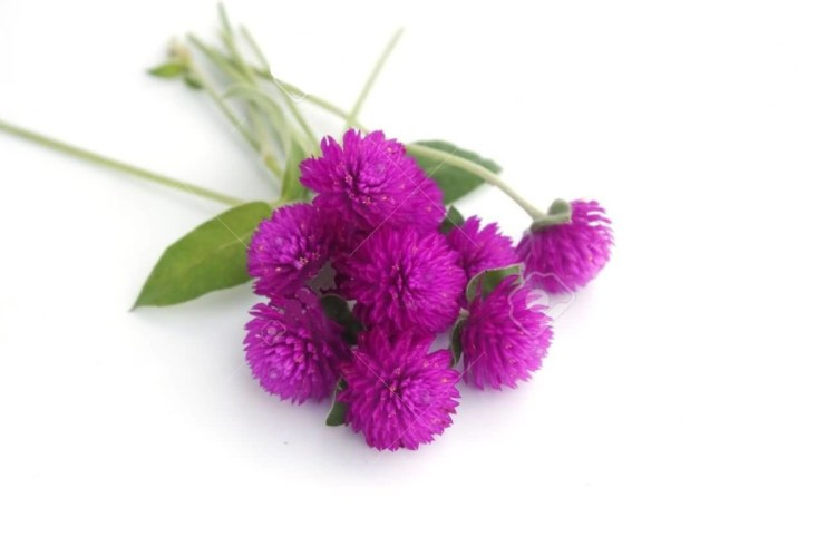 Awesome Purple Amaranth Flower Bouquet For Wallpaper