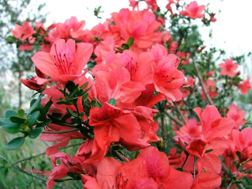 Awesome Red Azalea Flowers For Wedding Decoration
