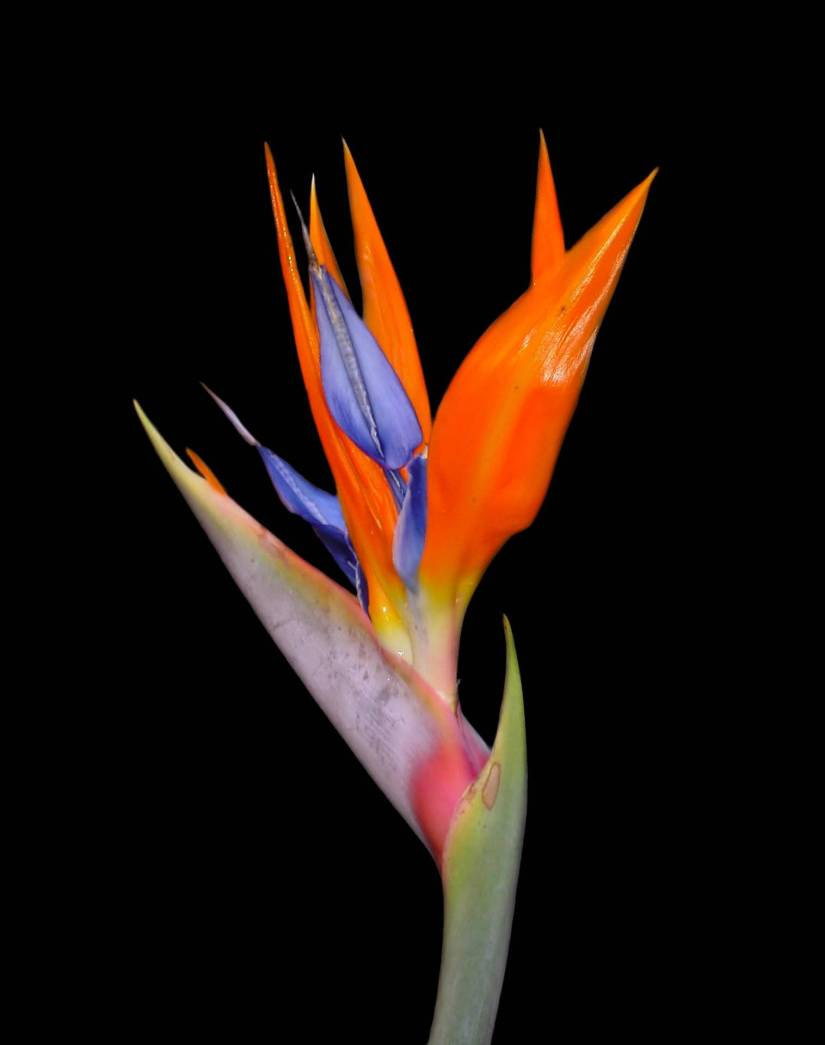 Awesome Red Bird Of Paradise Flower Plant With Black Background