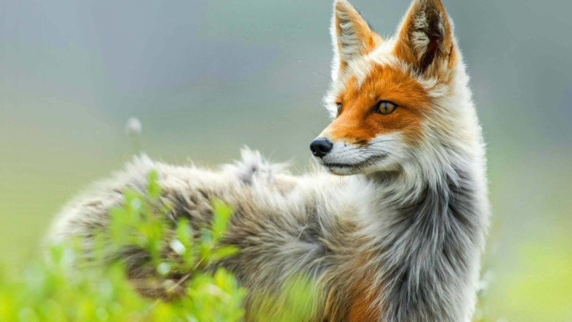 Awesome Red Fox Watching At Other Side Hd Wallpaper