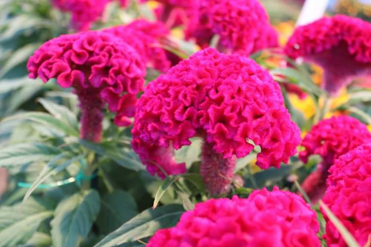 Awesome Red Globe Amaranth Flowers In Plant For Sell In Market