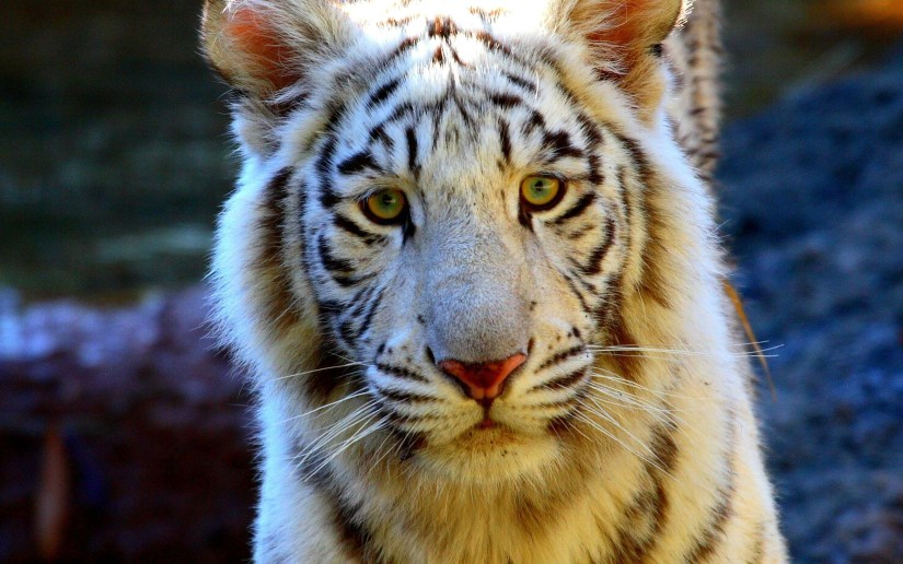 awesome-tiger-look-at-us-full-hd-wallpaper