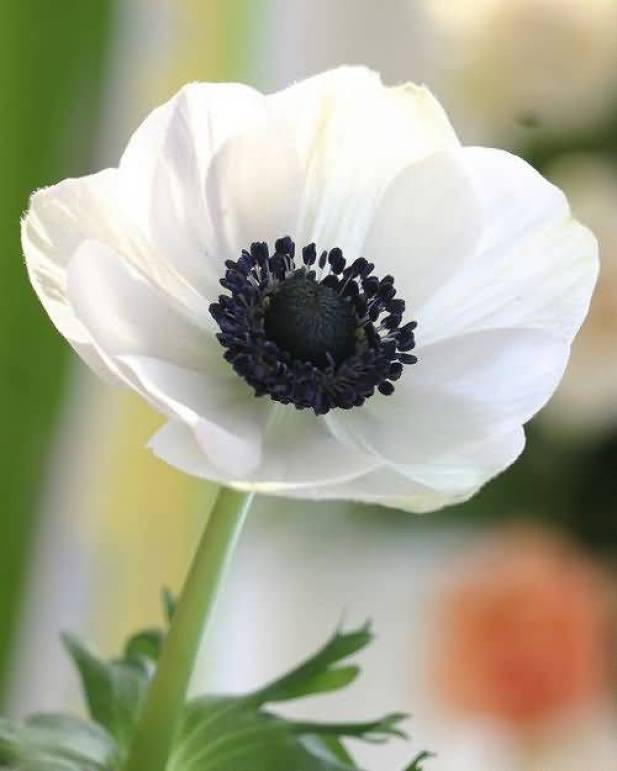 Awesome White Flower Anemone Plant For Whats Apps Wallpaper