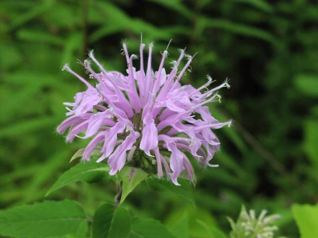 Awesome Wild Bergamot Flower Plant With Green Beautiful Background
