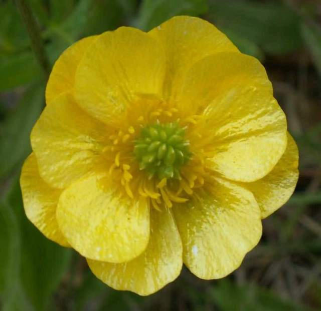 Awesome Yellow Buttercup Flower With Green Background