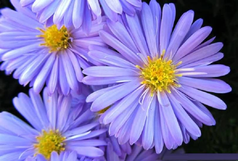 Beautiful Blue And Yellow Aster Flowers For Wedding