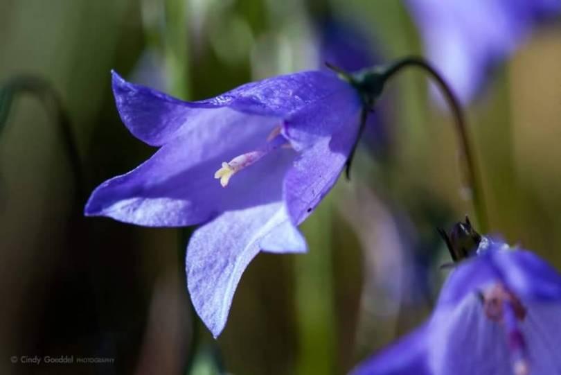 Beautiful Blue Bellflower For Desktop Wallpaper