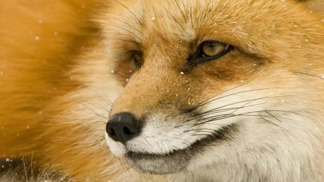 Beautiful Brown Fox Face Fabulous 4k Wallpaper