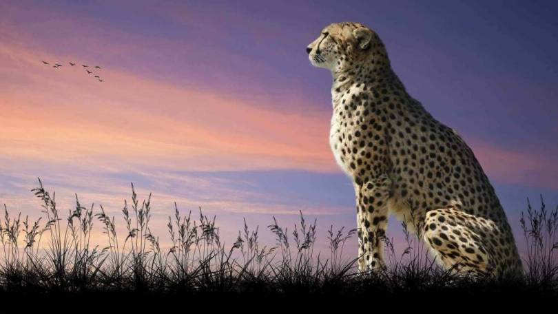 Beautiful Leopard At Twilight Full Hd Wallpaper