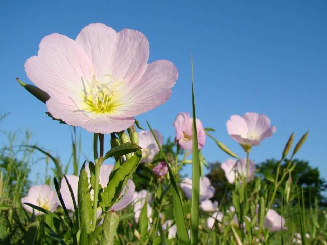 Beautiful Pink Persian Buttercup Flower Plant With Blue Sky